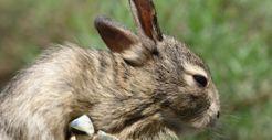 Esta imagen tiene un atributo ALT vacío; su nombre de archivo es Sylvilagus-cunicularius.jpg
